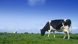 Friesian cow grazing in a field