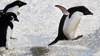An Adélie Penguin leaps across the sea ice