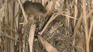 A small mouse sits on a stalk of wheat above its ball shaped nest