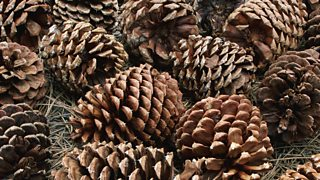 A cluster of brown pine cones