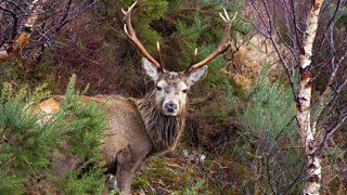 A deer with large antlers in Highland woodland