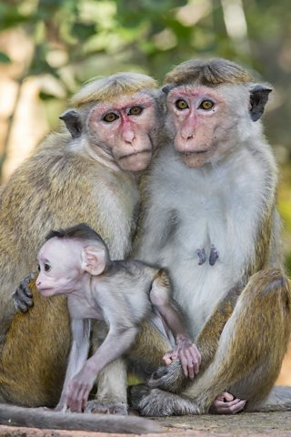 A family of monkeys