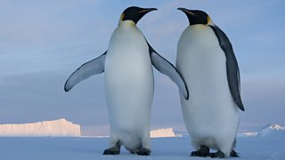 A pair of Emperor penguins (Aptenodytes forsteri) courting