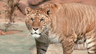 A liger, the product of crossbreeding a male lion and a female tiger