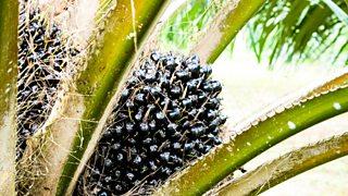 Ripe fruit on an oil palm tree
