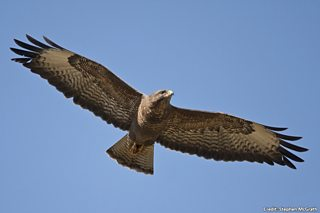 Bbc Blogs Springwatch Wing Tips Identifying Our Birds Of Prey