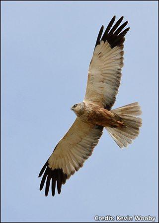Bird Of Prey Identification Chart 2
