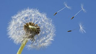 A photo of seeds blowing from a dandelion seed head