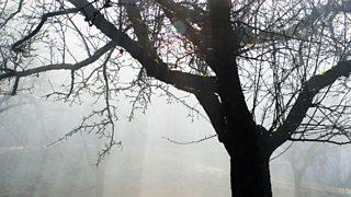An apple tree with a misty haze