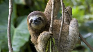 A sloth hangs from a tree