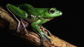 A flying frog