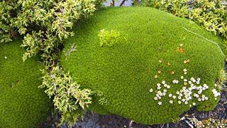 Cushion plants