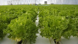 A hydroponic system growing salad crops.