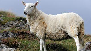A Cheviot sheep