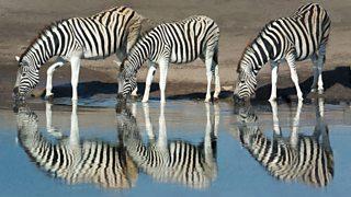 Burchells Zebras (Equus quagga burchellii) drinking water, Etosha National Park, Namibia