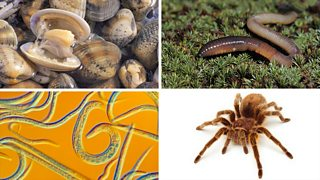 (Clockwise from top-left) Clams, earthworms, a tarantula, Caenorhabditis elegans.