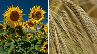 Sunflowers and wheatplants.