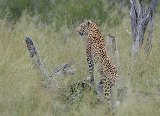 Wildlife photograph example of leopard looking off to the left of frame