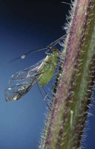 Green Aphid sucking sap from stem of nettle