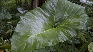 A large taro leaf