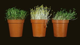 Three plant pots showing seedlings at various stages