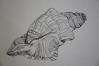 Student contour drawing of shell