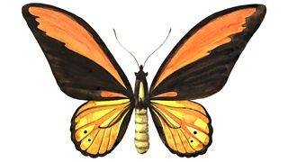 Watercolor illustration of a golden birdwing butterfly (Ornithoptera croesus).