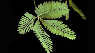 Plant Defences Plant Disease Edexcel Gcse Biology Single Science Revision Edexcel Bbc Bitesize