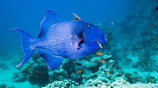 A blue triggerfish and cleaner wrasse