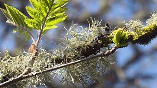 A bushy lichen