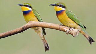 Two blue-breasted bee-eaters