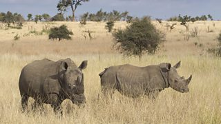 A pair of white rhino