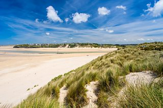 Marram grass planted on sand dunes in order to stabilise the dunes at Porthkidney Beach, Cornwall.