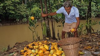 A farmer is collecting beans from cocoa pods in a wicker basket. He is throwing the empty husks on the floor.