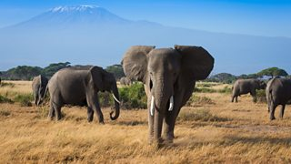 A herd of elephants in grassland with Mount Kilimanjaro in the background.