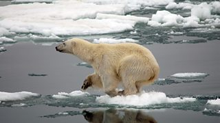 A polar bear struggling to float on ice