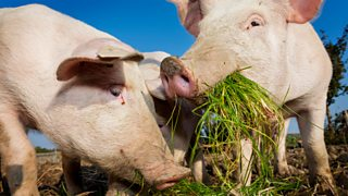 Two pigs eating grass