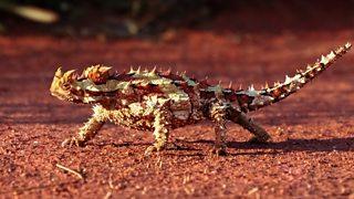 A thorny devil lizard