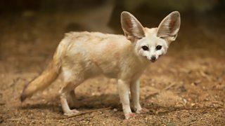 A fennec fox