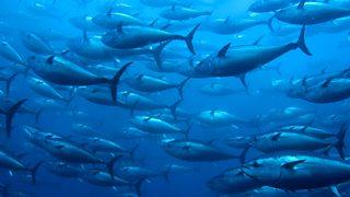 A shoal of bluefin tuna
