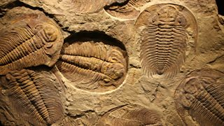 A fossil
