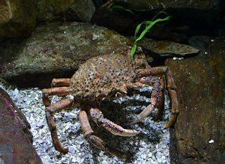 A spider crab