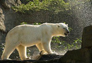 A polar bear enjoying a shower on a hot day