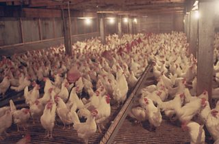 A picture of chickens in an intensive farming environment