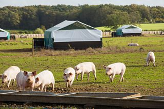 A picture of pigs in a free range environment