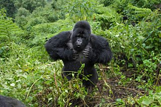Mountain Gorilla beating chest