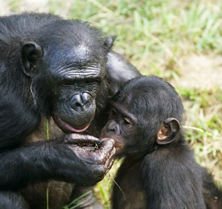 Chimpanzee mother and offspring