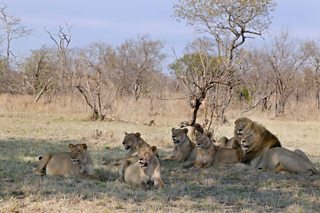 A lion pride, with two large males, resting in the shade