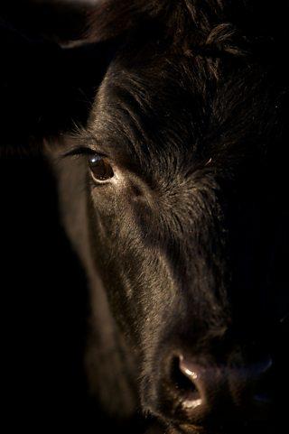 A photo of a black bull