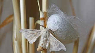 A large silkmoth attached to a white circular cocoon.